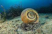 Giant tun (Tonna galea) is a species of marine gastropod mollusc, one of the biggest sea snail in Mediterranean Sea, Vis Island, Croatia, Adriatic Sea, Mediterranean