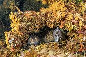 Murène de la Méditerranée (Muraena helena) dans son antre, île de Vis, Croatie, mer Adriatique, Méditerranée