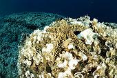 Spiny starfish, (Marthasterias glacialis), Vis Island, Croatia, Adriatic Sea, Mediterranean