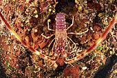 Close up of a Spiny Lobster, (Palinurus elephas), Vis Island, Croatia, Adriatic Sea, Mediterranean