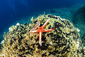 Sea star, (Hacelia attenuata) eating by bearded fireworm, (Hermodice carunculata), Vis Island, Croatia, Adriatic Sea, Mediterranean