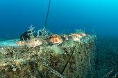 Swarm of striped red mullet or surmullet (Mullus surmuletus), in shallow water in front Komiza beach dive site, Vis Island, Croatia, Adriatic Sea, Mediterranean