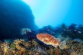 Great rockfish, (Scorpaena scrofa), Vis Island, Croatia, Adriatic Sea, Mediterranean