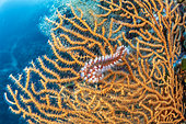 Bearded fireworm, (Hermodice carunculata), feeding on a yellow gorgonian, Eunicella cavolini, Stupiste In dive site, Vis Island, Croatia, Adriatic Sea, Mediterranean
