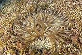 Anémone de mer dorée (Condylactis aurantiaca), cette espèce reste toujours largement enfouie dans le sable ou les sédiments, fixée au substrat, avec seulement le disque et les tentacules buccaux visibles. Île de Vis, Croatie, mer Adriatique, Méditerranée
