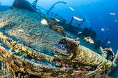 Conger eel, (Conger conger) on Teti wreck, built in 1883 as a steamship and later turned into a merchant cargo ship. Sunk on a stormy night on May 23rd/1930, it lies at max 34m close to Komiza, Vis Island, Croatia, Adriatic Sea, Mediterranean
