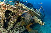 Moray eel, (Muraena helena) on Teti wreck, built in 1883 as a steamship and later turned into a merchant cargo ship. Sunk on a stormy night on May 23rd/1930, it lies at max 34m close to Komiza, Vis Island, Croatia, Adriatic Sea, Mediterranean