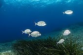 Swarm of sharpsnout seabream, (Diplodus puntazzo), Vis Island, Croatia, Adriatic Sea, Mediterranean