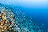Fishing net left on a reef, Vis Island, Croatia, Adriatic Sea, Mediterranean