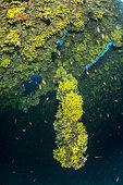 Propeller blade covered with yellow sponges, (Aplysina cavernicola) on wreck Vassilios T, Vis Island, Croatia, Adriatic Sea, Mediterranean