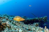 Serranidae comber (Serranus cabrilla), on the wreck Vassilios T, Vis Island, Croatia, Adriatic Sea, Mediterranean