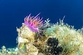 Flabelline (Flabellina affinis), île de Vis, Croatie, mer Adriatique, Méditerranée