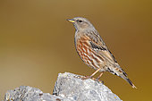 Alpine Accentor (Prunella collaris), side view of an adult perched on a rock, Trentino-Alto Adige, Italy