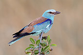 European Roller (Coracias garrulus), adult male perched on Crab Apple, Campania, Italy