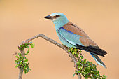 European Roller (Coracias garrulus), side view of an adult male perched on a branch, Campania, Italy