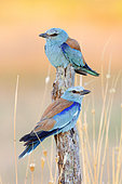 European Roller (Coracias garrulus), couple perched on a dead trunk, Campania, Italy
