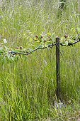 Palisaded pear tree in an orchard in summer, Pas de Calais, France