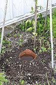 Oya: Porous terracotta watering pot in a garden, summer, Vosges, France