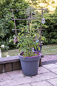 Tomatoes growing in a pot on a terrace in summer, Vosges, France