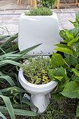 Wild Thyme (Thymus serpyllum) growing in a WC in the garden in summer, Vosges, France