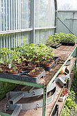 Tomato plants (Solanum lycopersicum) on a potting table in a greenhouse in spring, Pas de Calais, France