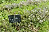 Lemon thyme (Thymus citriodorus) in a garden in summer, Vosges, France