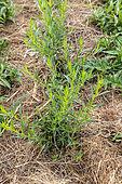 Tarragon (Artemisia dracunculus) in a summer garden, Vosges, France