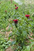 Scarlet beebalm (Monarda didyma) in a garden in summer, Vosges, France