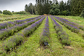 Fine Lavender (Lavandula angustifolia) in a summer garden, Vosges, France