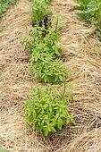Verveine odorante (Aloysia triphylla) in a straw garden, summer, Vosges, France