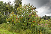 European mountain ash (Sorbus aucuparia) in fruit in summer, Vosges, France