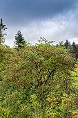 Red-berried Elder (Sambucus racemosa) in fruit in summer, Vosges, France