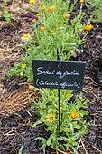Pot marigold (Calendula officinalis) in bloom in summer, Vosges, France