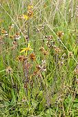 Arnica des montagnes (Arnica montana) en fleurs en été, Vosges, France