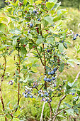 Highbush Blueberry (Vaccinium corymbosum) in a garden in summer, Vosges, France