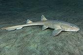 Arabian Bamboo Shark, Chiloscyllium arabicum, Abu Dhabi, UAE, Arabian Sea.