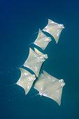 Atlantic Cownose Ray, Rhinoptera bonasus, Isla Mujeres, Mexico, Caribbean Sea.