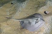Banded Stingaree or Kapala stingaree, Trygonoptera sp. often misidentified as the Crossback Stingaree, Urolophus cruciatus. Merimbula, New South Wales, Australia.