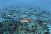 Banded Houndshark - Triakis scyllium. Shark feed in Tateyama, Chiba, Japan, Northwest Pacific Ocean.