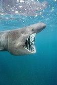 Basking shark (Cetorhinus maximus) filter feeding on plankton near the Lizard Peninsula,