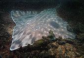 Raie biocellée (Beringraja binoculata) pondant sur le varech. Lagune d'Esqimalt, île de Vancouver, Colombie-Britannique, Canada, Pacifique Nord-Est.
