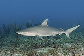 Blacknose Shark, Carcharhinus acronotus, Gun Cay, Bahamas, Caribbean Sea.