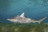 Blacknose Shark, Carcharhinus acronotus, Triangle Rocks, South Bimini Island, Caribbean Sea.