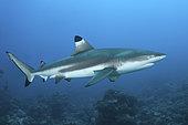 Blacktip Reef Shark, Carcharhinus melanopterus, White Valley (dive site), Tahiti, French Polynesia, South Pacific Ocean.