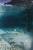 Blacktip Reef Shark, Carcharhinus melanopterus, Tumakohua Pass, Fakarava Atoll, French Polynesia, South Pacific Ocean.