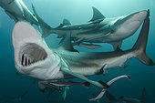 Blacktip Shark, Carcharhinus limbatus, Aliwal Shoal, Umkomaas, South Africa, Indian Ocean.