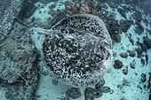 Blotched Stingray, Taeniurops meyeni. Aka marlble ray, blotched fantail ray, ribbontail ray. A large stingray from the Indo-Pacific. Image from Nuku Hiva, French Polynesia.
