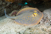 Blue spotted fantail ray, Taeniura lymma, Bluespotted ribbontail ray, Ningaloo Reef Western Australia, Indian Ocean.
