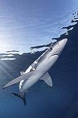 Blue Shark, Prionace glauca. Cabo San Lucas, Baja, Mexico, Eastern Pacific.