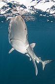 Blue shark Prionace glauca La Jolla, Southern California, USA, Pacific Ocean.